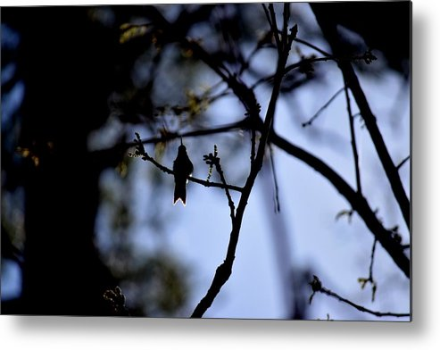 Bird Metal Print featuring the photograph Hummingbirds 326 by Lawrence Hess