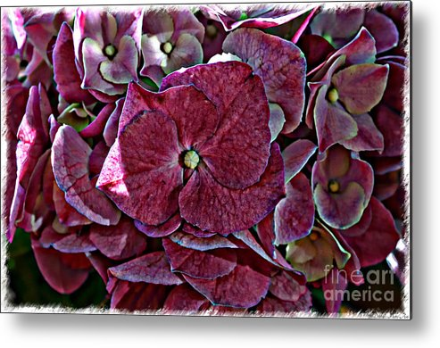 Nature Metal Print featuring the photograph Hydrangeas In Rich Rose Color by Debbie Portwood