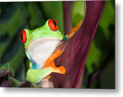 Red-eyed Tree Frog Metal Print featuring the photograph In Awe by Cheryl Schneider
