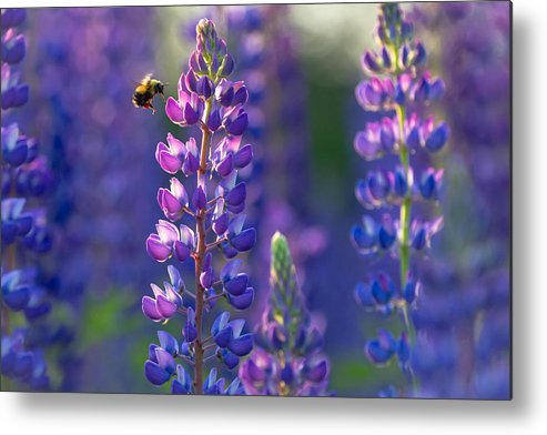 Lupine Metal Print featuring the photograph In The Land Of Lupine by Mary Amerman
