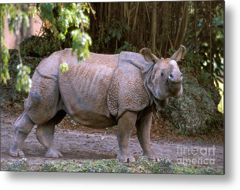 Indian Rhinoceros Metal Print featuring the photograph Indian Rhinoceros by Mark Newman