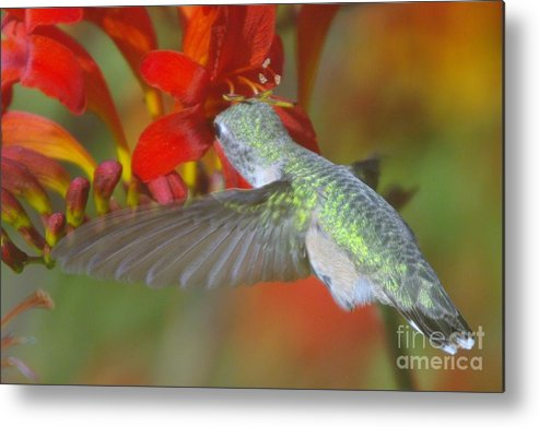 Wings Metal Print featuring the photograph Indulgence by Jeff Swan