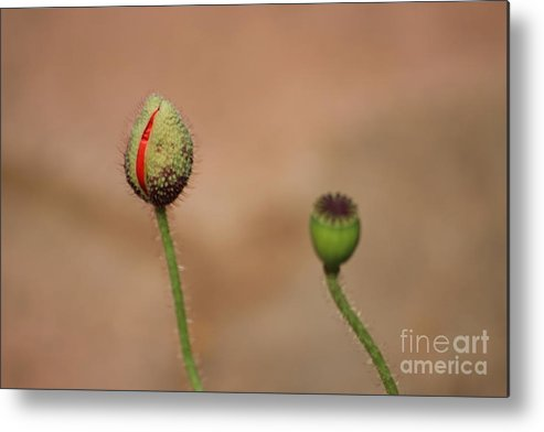 Flowers Metal Print featuring the photograph Innocence by Four Hands Art