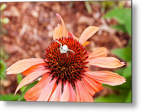 Flower Metal Print featuring the photograph Itsy Bitsy Spider Walking On The Flower by Hasnain Shabbir