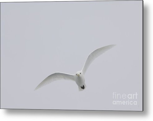 Ivory Gull Metal Print featuring the photograph Ivory Gull In Flight by John Shaw