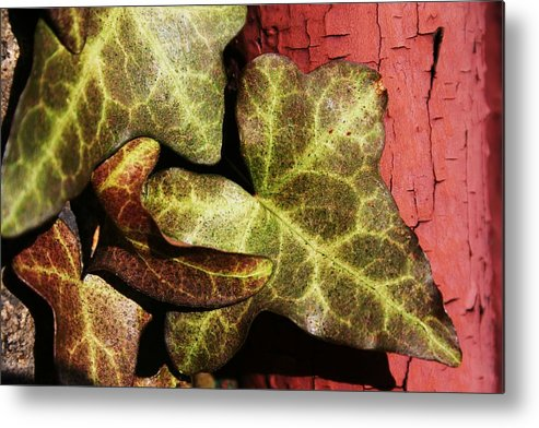 Plants Metal Print featuring the photograph Ivy And Cracked Paint by Robin Mahboeb