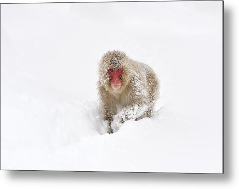 Thomas Marent Metal Print featuring the photograph Japanese Macaque In Snow Jigokudani by Thomas Marent