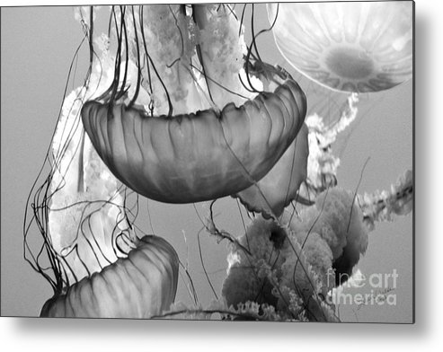 Jelly Fish Metal Print featuring the photograph Jellyfish Floating By by Artist and Photographer Laura Wrede