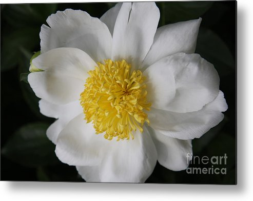 Peony Metal Print featuring the photograph Just White by Christiane Schulze Art And Photography