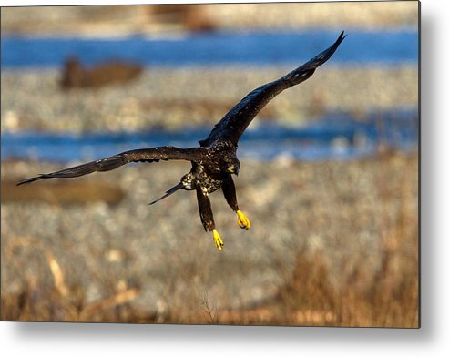 Bald Eagle Metal Print featuring the photograph Juvenile Landing by Shari Sommerfeld