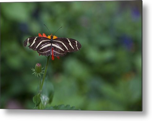Butterfly Metal Print featuring the photograph Kanapaha Butterfly I by Charles Warren