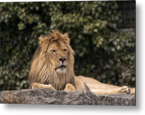 King Metal Print featuring the photograph King Of The Jungle by Cindy Haggerty