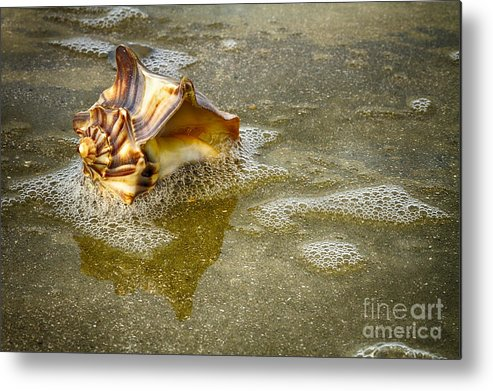 Shells Metal Print featuring the photograph Knobbed Whelk 10 Botany Bay by Carrie Cranwill