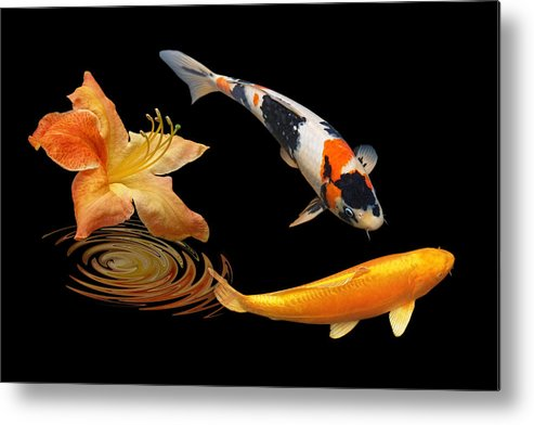 Japanes Koi Fish Metal Print featuring the photograph Koi With Azalea Ripples by Gill Billington