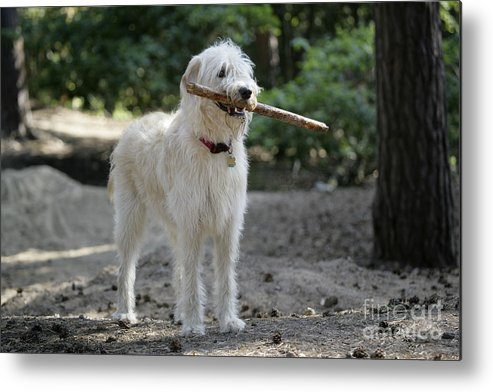 Labradoodle Metal Print featuring the photograph Labradoodle Holding Stick by John Daniels