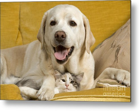 Labrador Retriever Metal Print featuring the photograph Labrador With Cat by Jean-Michel Labat
