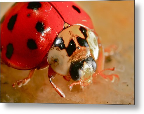 Lady Bug Metal Print featuring the photograph Lady Bug by Rich Tanguay