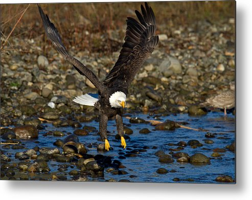 Bald Eagle Metal Print featuring the photograph Landing Approach by Shari Sommerfeld