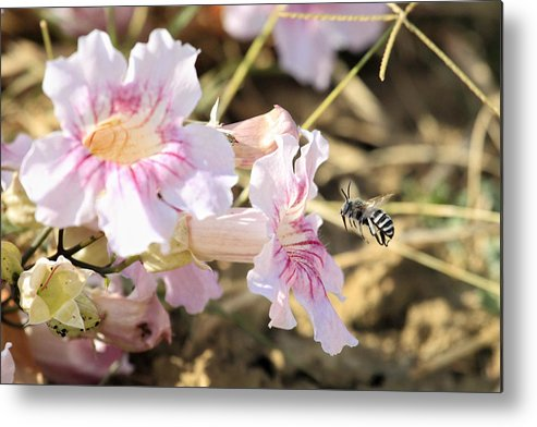 Bee Metal Print featuring the photograph Landing For Dinner by Goyo Ambrosio