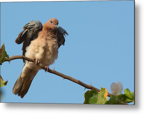 Africa Metal Print featuring the photograph Laughing Palm Dove Fluffing Feathers by Dave Montreuil