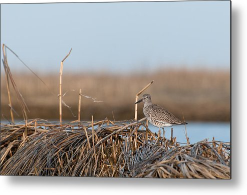 Sandpiper Metal Print featuring the photograph Least Sandpiper Morning by J H Clery