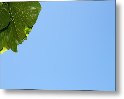 Flower Metal Print featuring the photograph Leaves And Sky by Nick LaRocque