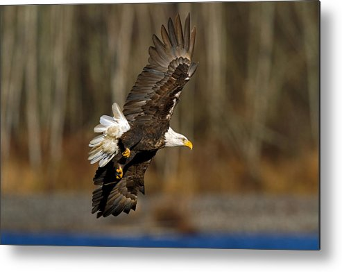 Bald Eagle Metal Print featuring the photograph Left Turn by Shari Sommerfeld