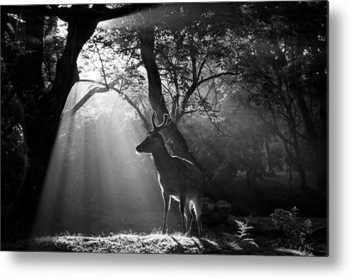 Deer Metal Print featuring the photograph Light And Deer by Yoshinori Matsui