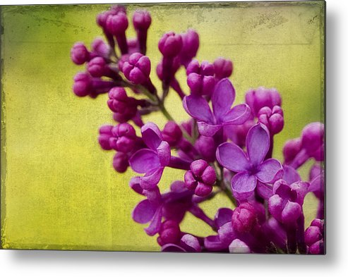 Lilac Metal Print featuring the photograph Lilac by Katy Jane Conlin
