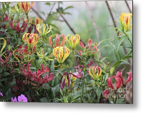 Lilies Metal Print featuring the photograph Lilies Of Color by Dwight Cook