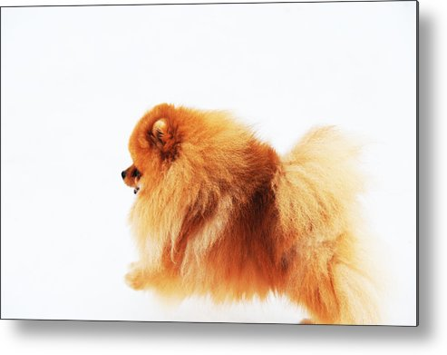 Dog Metal Print featuring the photograph Lion On The Snow by Jenny Rainbow