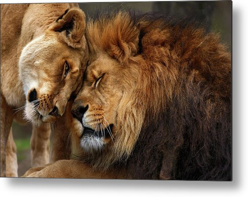 Lion Metal Print featuring the photograph Lions In Love by Emmanuel Panagiotakis