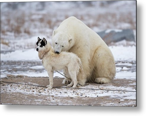 Bear Metal Print featuring the photograph Living Together by Marco Pozzi