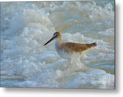 Shore Birds Metal Print featuring the photograph Long Beaked Sandpiper by Carol McGunagle