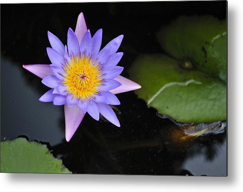 Lotus Flower Water Lily Vietnam Southeast Asia Metal Print By