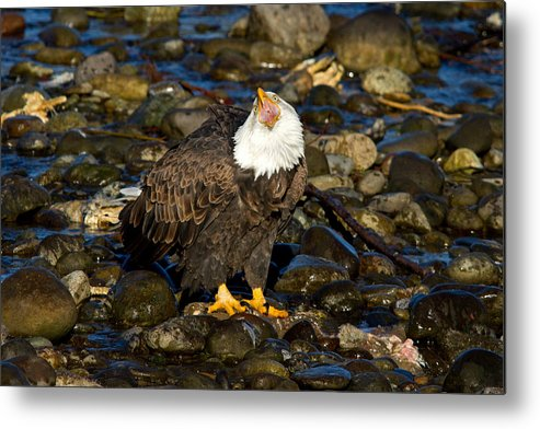 Bald Eagle Metal Print featuring the photograph Loud And Proud by Shari Sommerfeld