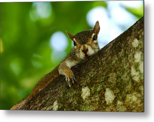 Squirrel Metal Print featuring the photograph Lounging Squirrel by Dan Dennison