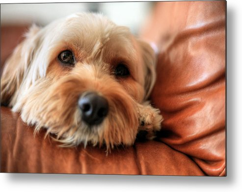 Love Me Like My Dog Does Metal Print featuring the photograph Love Me Like My Dog Does by JC Findley