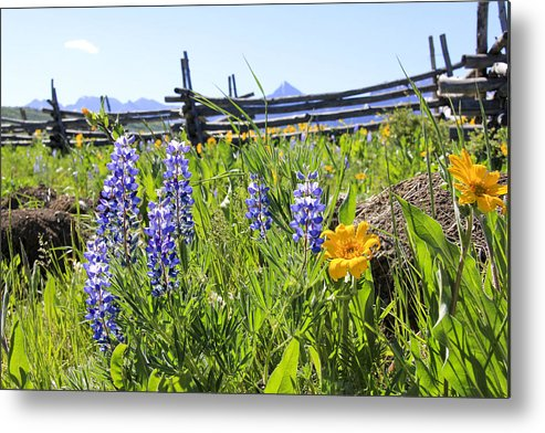 Wildflowers Metal Print featuring the photograph Lovely Lupine by Marta Alfred