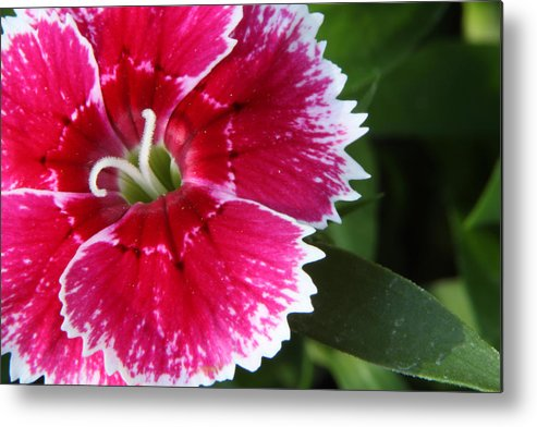 Macro Metal Print featuring the photograph Macro Flower by Pete OConnor