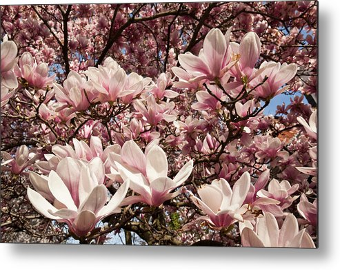 Bethesda Metal Print featuring the photograph Magnolia Flowers by Richard Nowitz