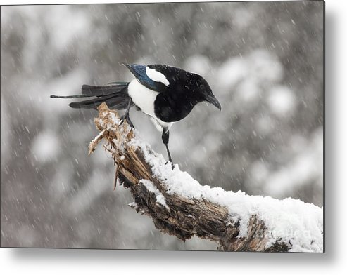 Black-billed Magpie Metal Print featuring the photograph Magpie Out On A Branch by Tim Grams
