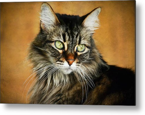 Maine Coon Metal Print featuring the photograph Maine Coon In Topaz by Fraida Gutovich