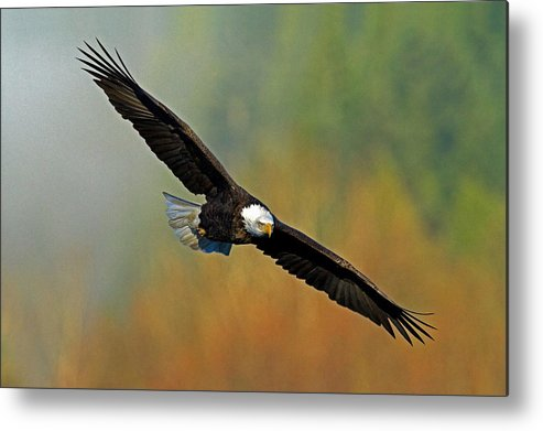 Bald Eagle Metal Print featuring the photograph Majestic Flight by Shari Sommerfeld