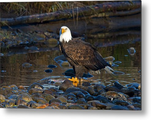 Bald Eagle Metal Print featuring the photograph Majestic by Shari Sommerfeld