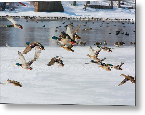 Ducks Metal Print featuring the photograph Mallards In Flight by Rich Tanguay