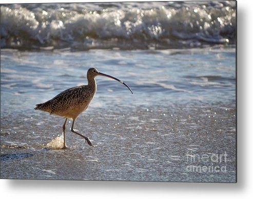 Marbled Godwit Metal Print featuring the photograph Marbled Godwit 2 by Charlene Gauld