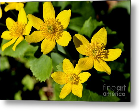 Marsh Marigold Metal Print featuring the photograph Marsh Marigold by Thomas R Fletcher