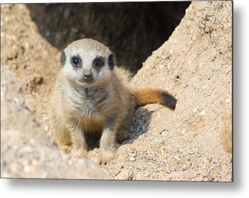 Africa Metal Print featuring the photograph Meerkat Baby by Dave Montreuil