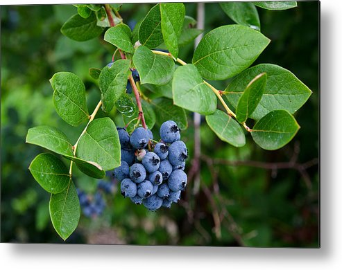 Blueberry Metal Print featuring the photograph Michigan Blueberries by Maria Dryfhout